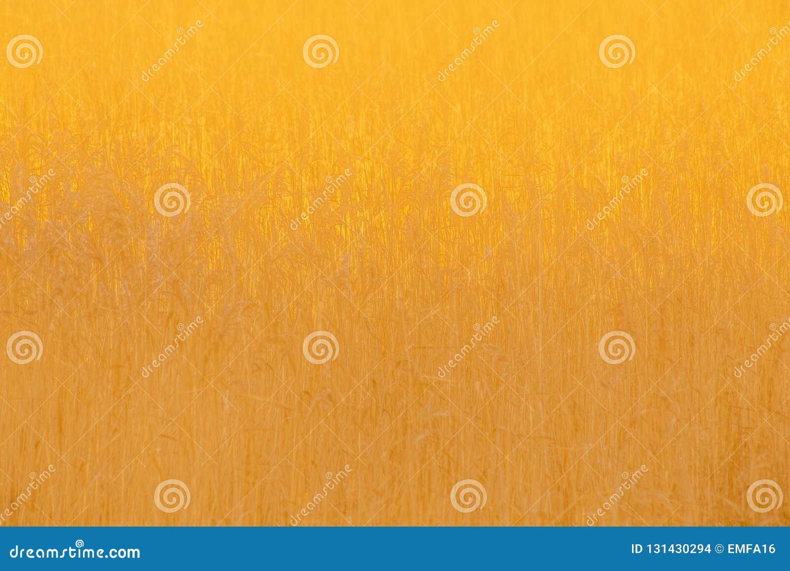 Ondoorzichtig Gouden Riet op Autumn Evening
