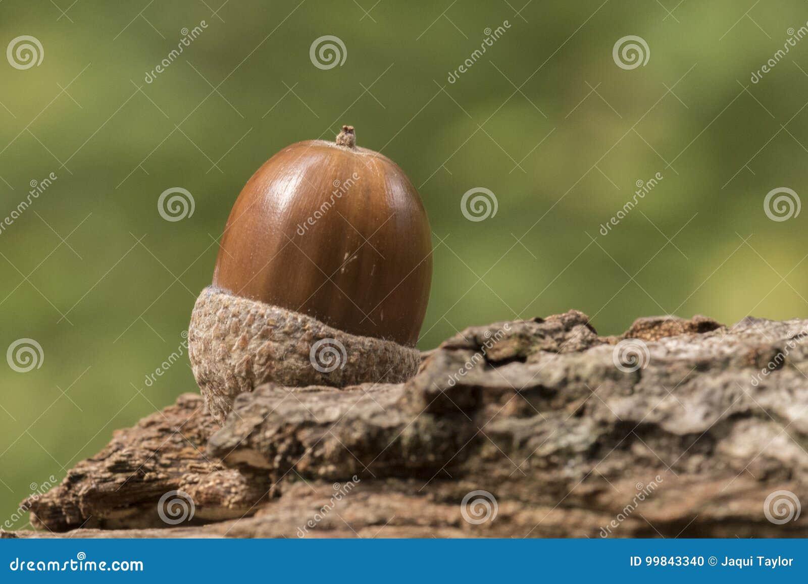 One acorn