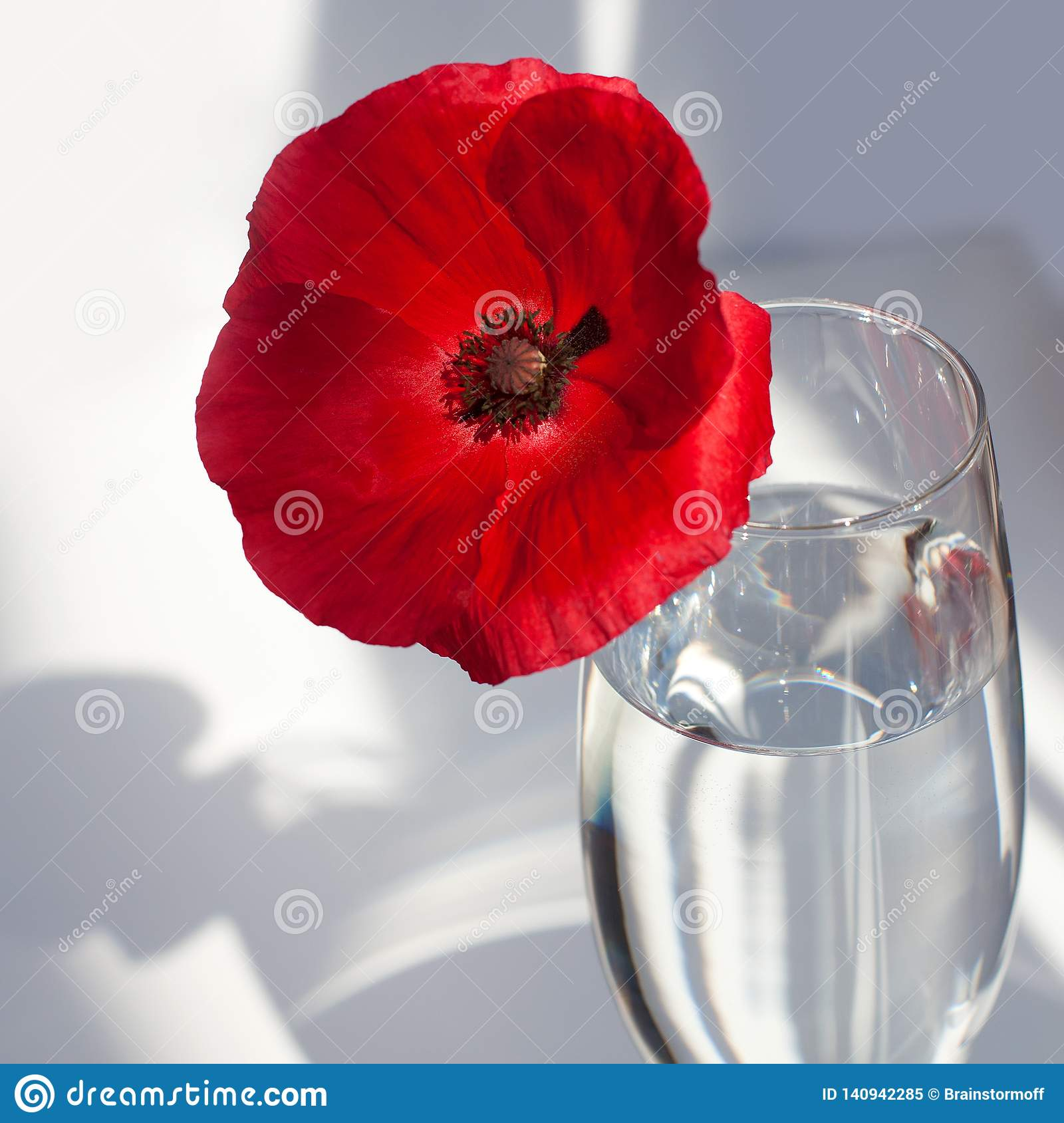 One big red poppy flower on white table with contrast sun light and shadows and wine glass with water closeup top view