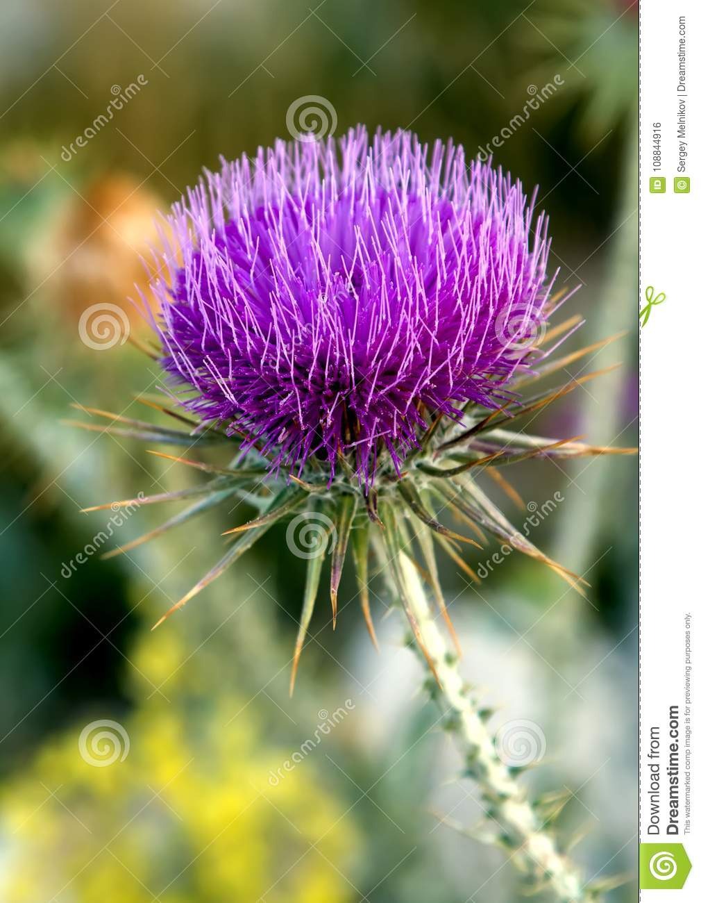 Thistle growing in the mountains of Turkey