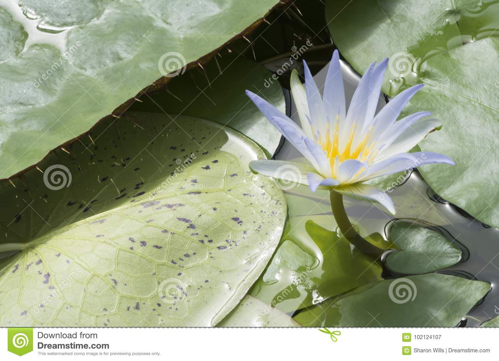 One Blue Lotus Of Egypt Nymphaea Caerulea Waterlilies Stock Image