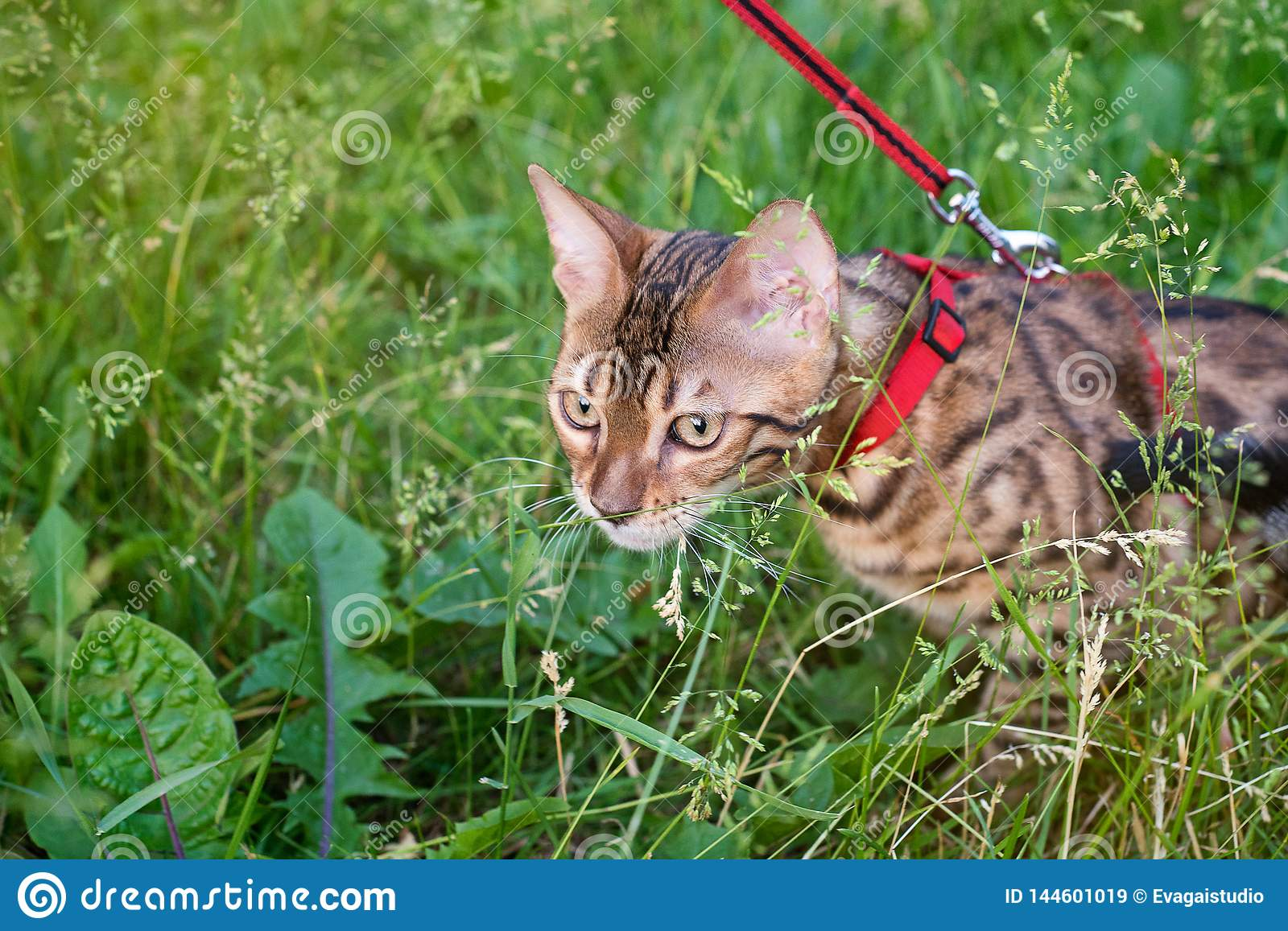 One cat bengal walks on the green grass. Bengal kitty learns to walk along the forest. Asian leopard cat tries to hide