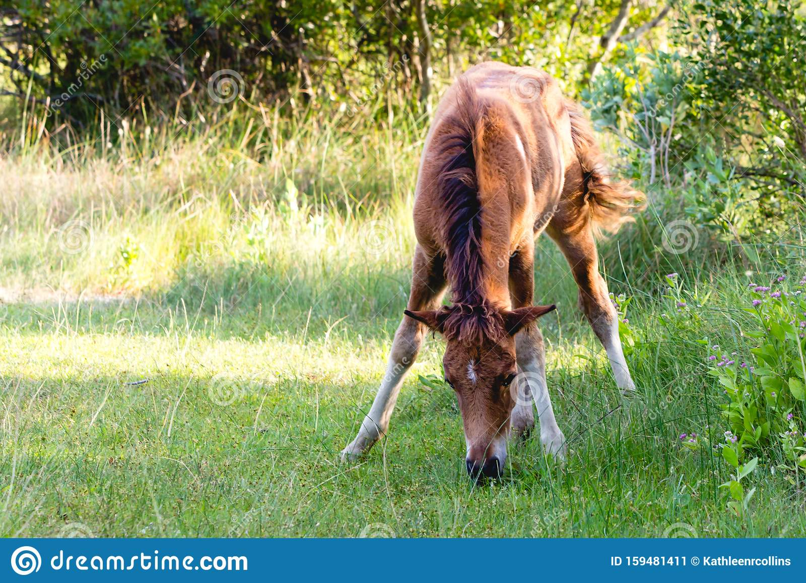 One Chestnut Brown Baby Horse Grazing In Grassy Field Stock Image Image Of Mare Graze 159481411