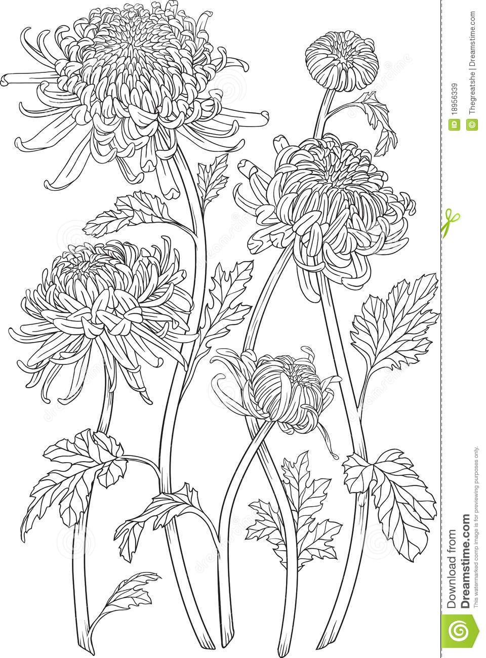 One Color Chrysanthemum Flowers Stock Vector Image 18956339