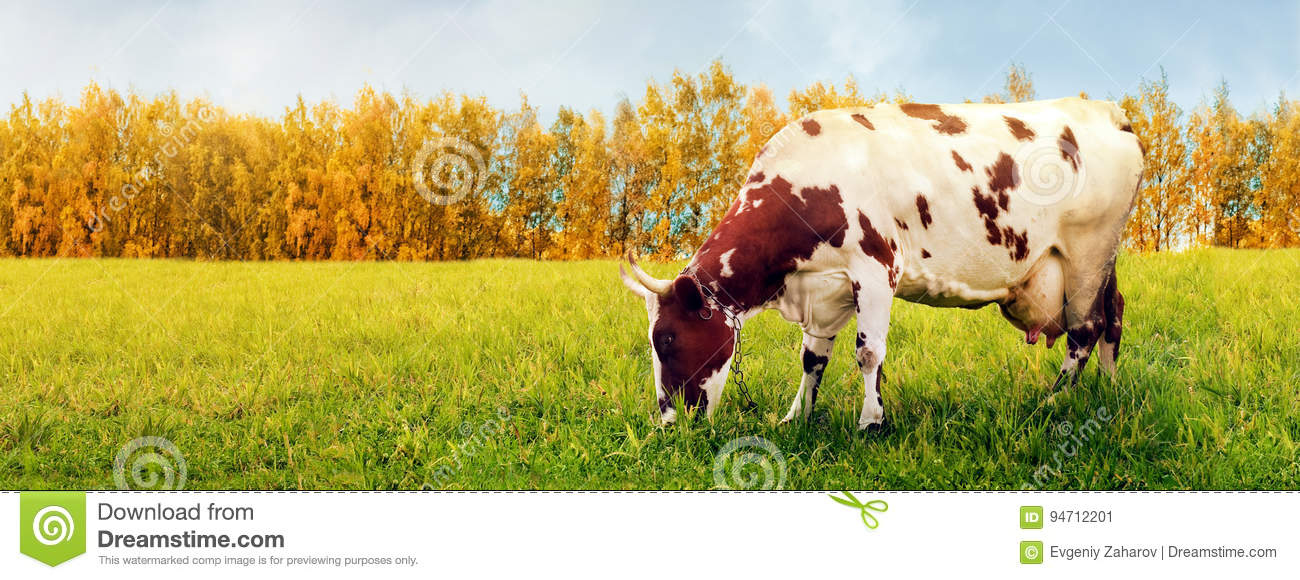 One cow grazing in meadow