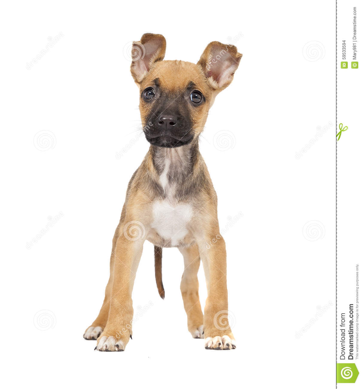 Download One Cute Mixed Breed Shepherd Labrador Puppy Stock Photo - Image of background, white: 59533594