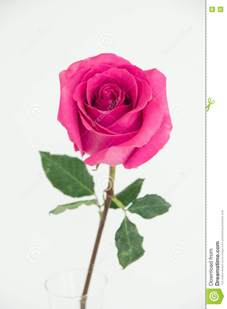 One pink rose picture