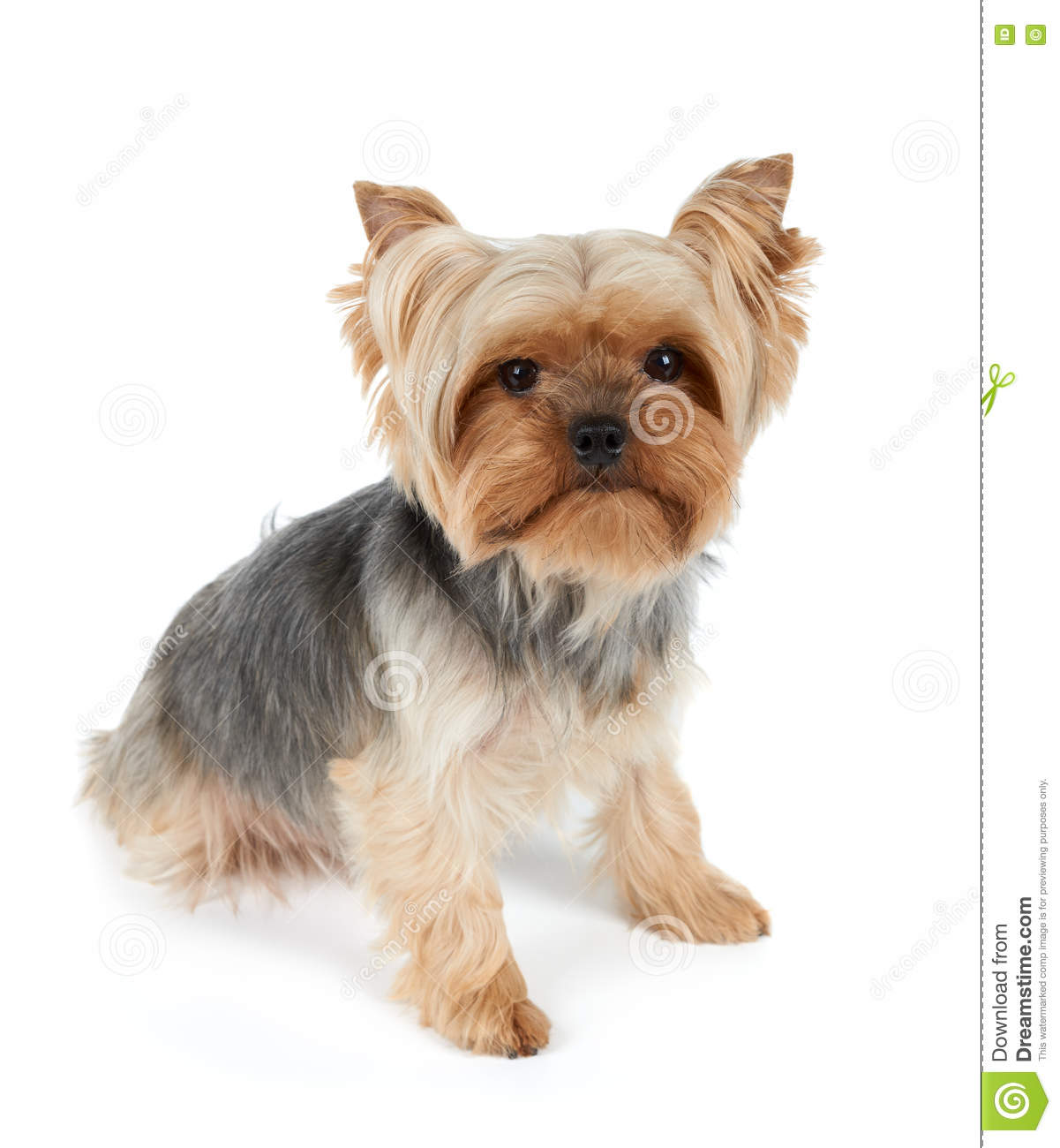 one dog with haircut stock photo. image of grooming, yorkie