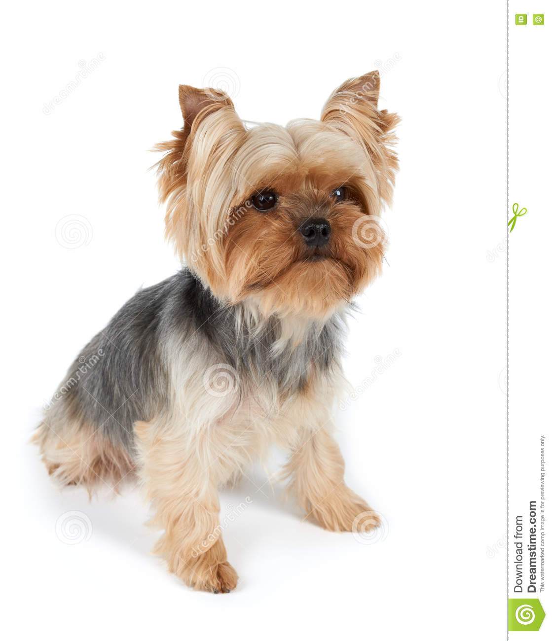One Dog With Haircut Stock Photo Image Of Yorkshire 73963100