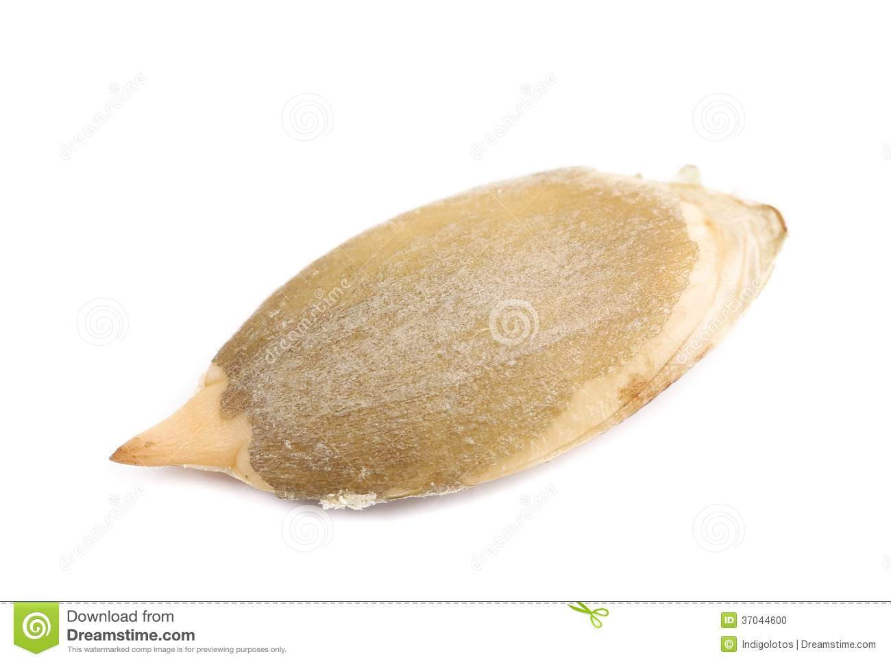one dry pumpkin seed stock photo image 37044600