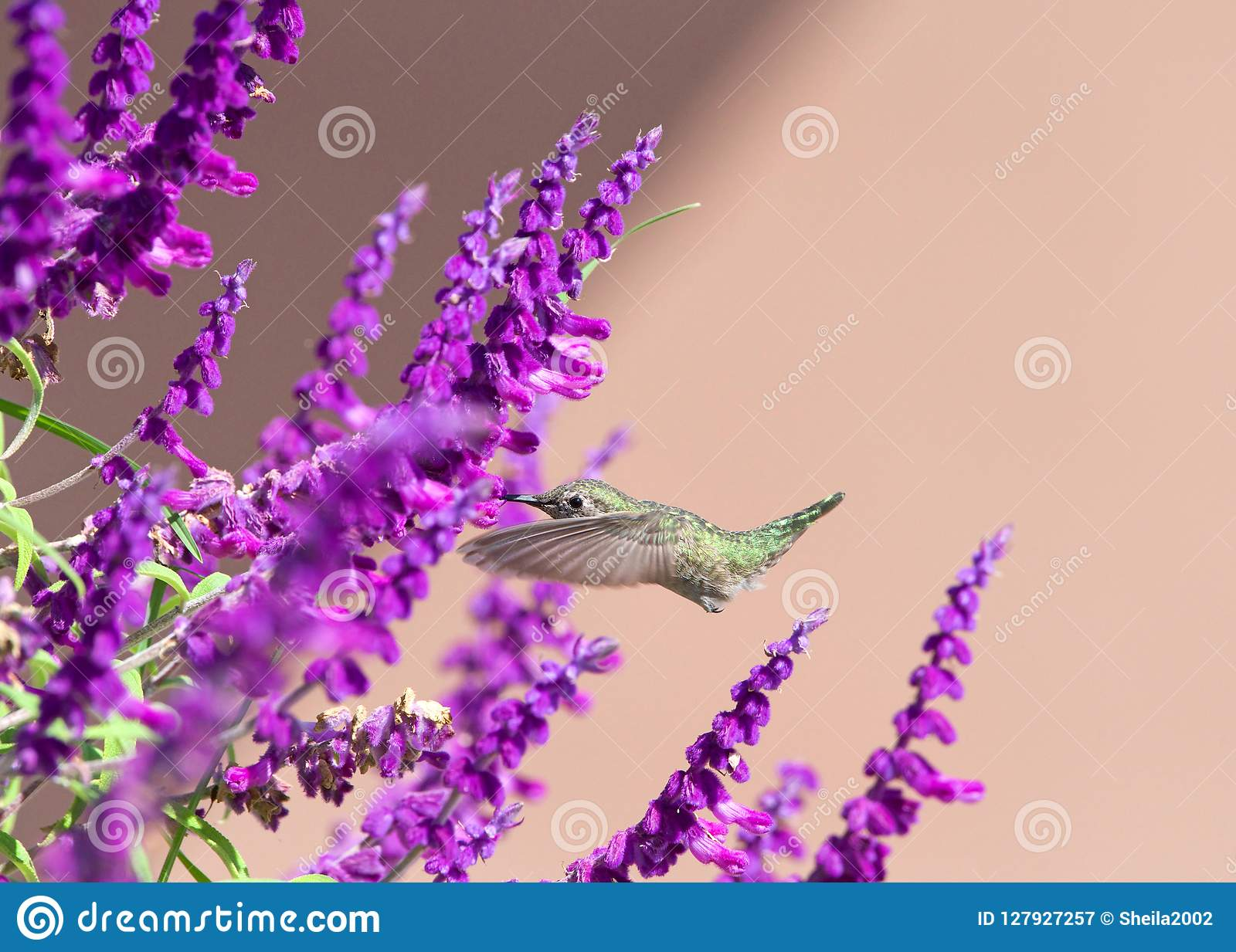 Anna`s Hummingbird hovering in Mexican Bush Sage Flowers