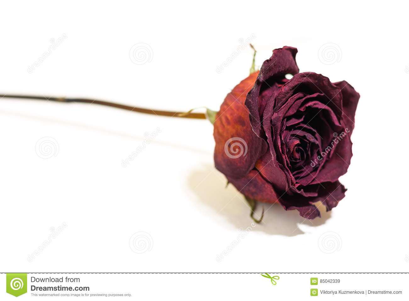 Beautiful Single Red Rose Flower Isolated Royalty Free: One Flower Dried Dead Flowers Red Rose. Wilted Roses
