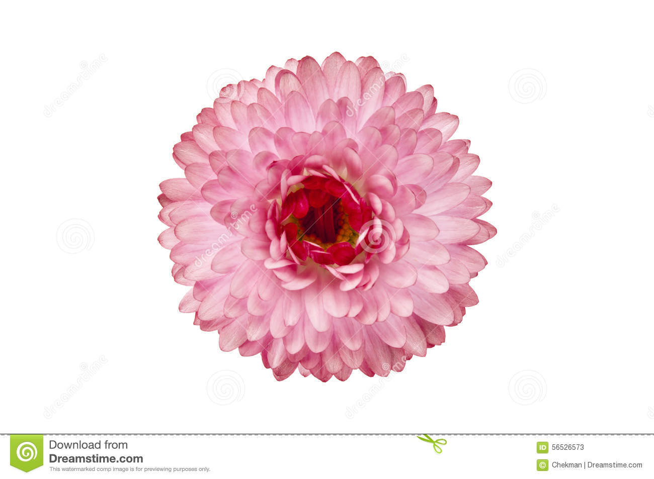 One flower on white background stock image image of growth flower beautiful pink flower one pink flower isolated on white background mightylinksfo