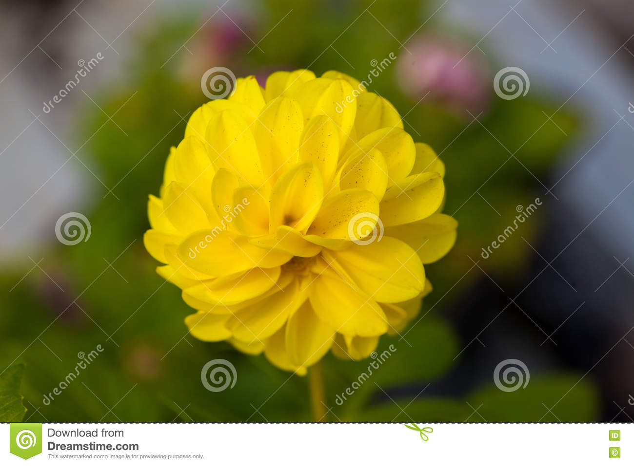 One Flower Yellow Colour On Green Natural Background Stock Image