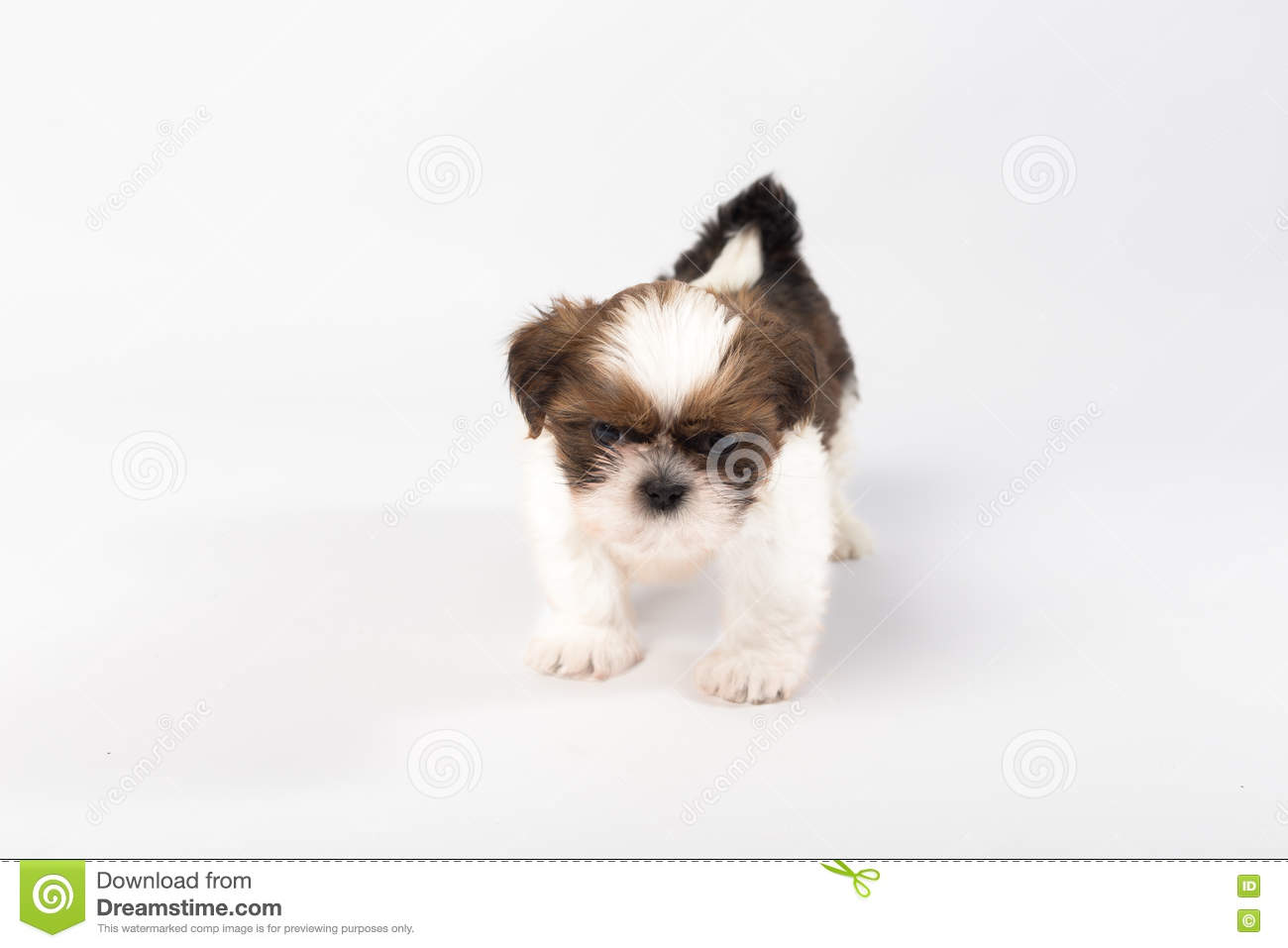 One Funny Shih Tzu Puppy Stock Photo Image Of Cute Puppy 74821436