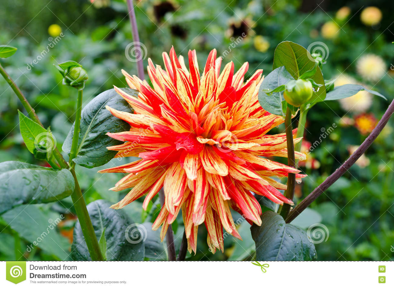 One Great Dahlia With The Name Striped Vulcan Stock Image Image Of