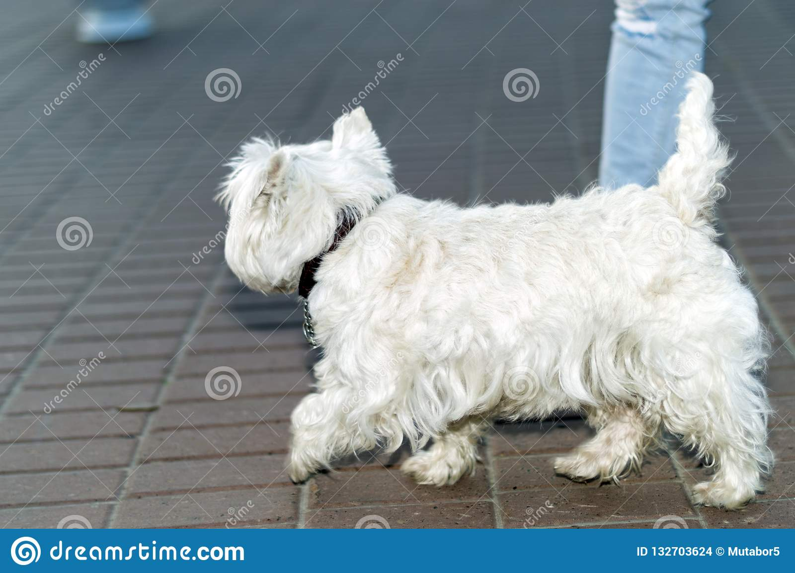 One and a half month puppy - half-breed Labrador and Samoyed dog
