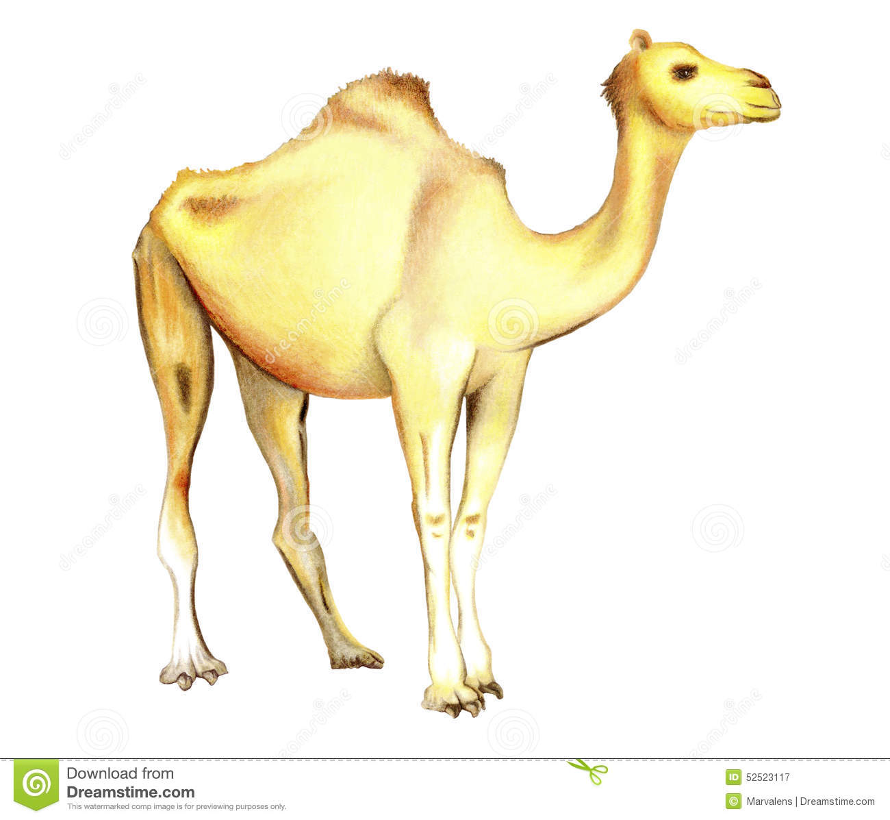 One-humped Camel On A White Background Stock Illustration ...