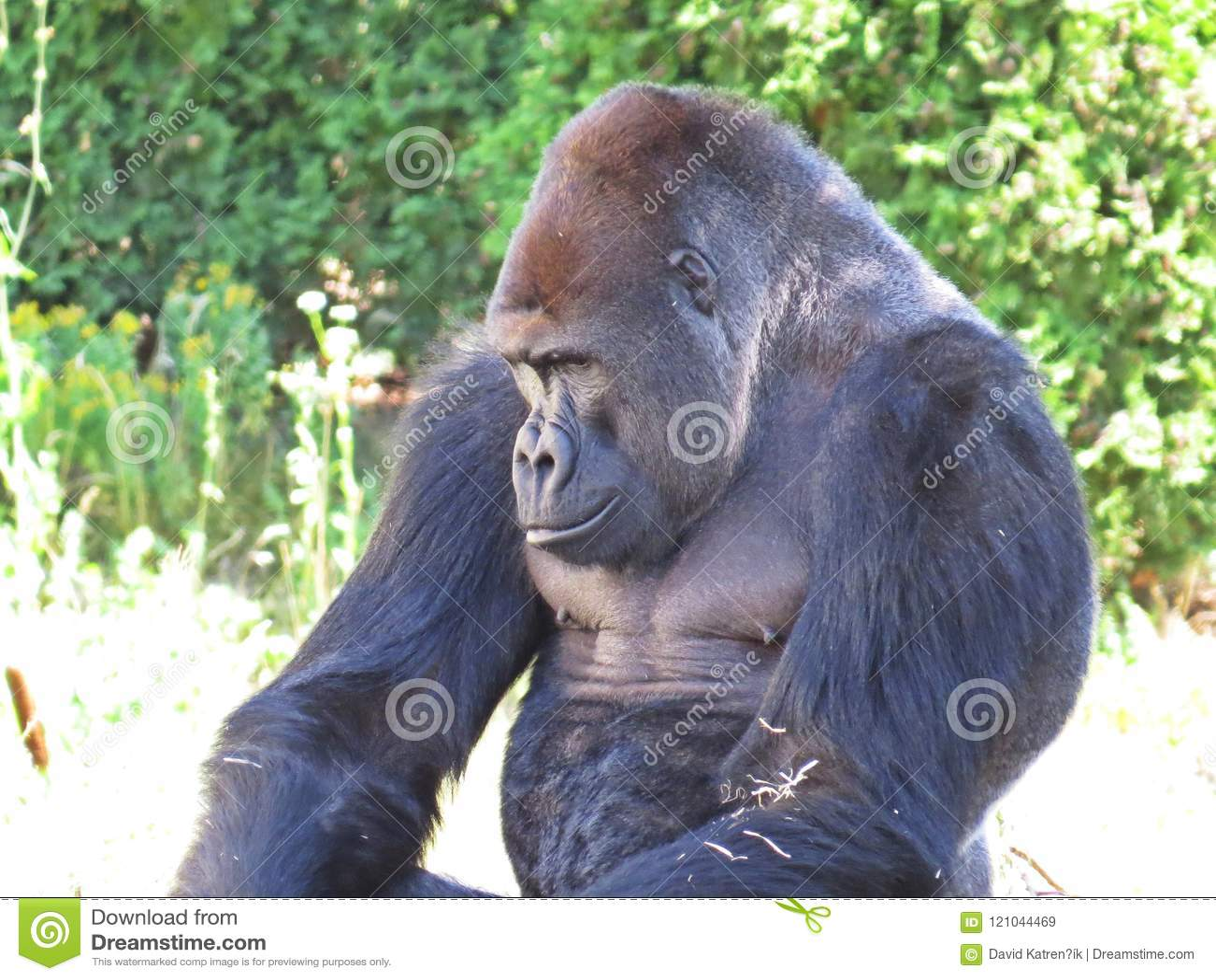 One Isolated Big Strong Black Monkey Ape Gorilla Head