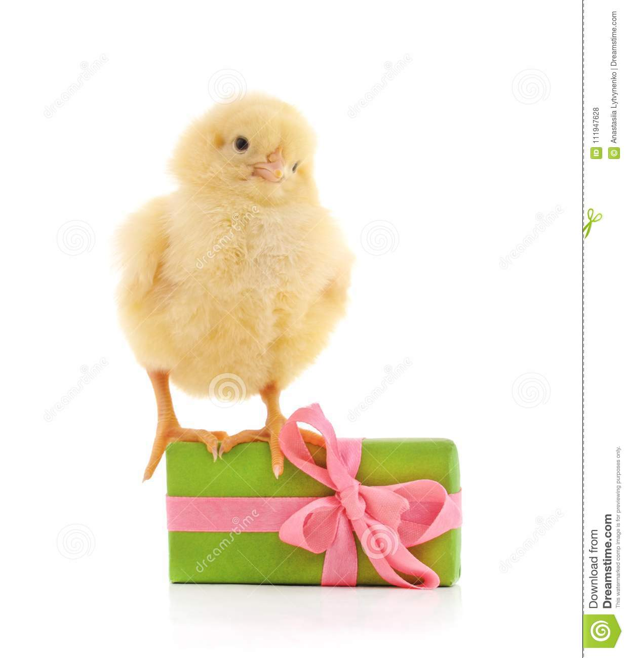 one little chicken with a gift stock photo image of birthday