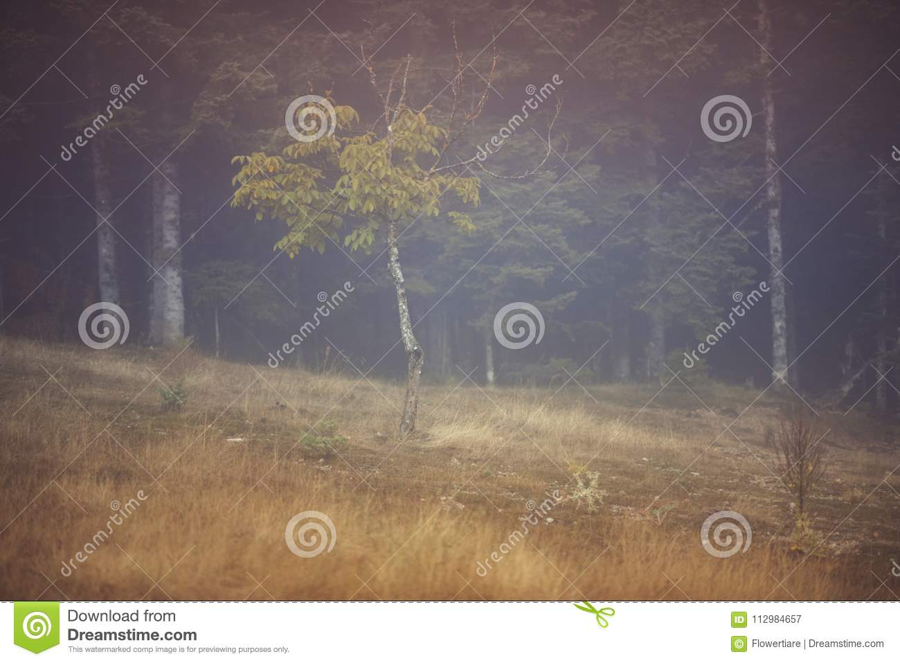 One lonely tree in the meadow in the mist with sunlight