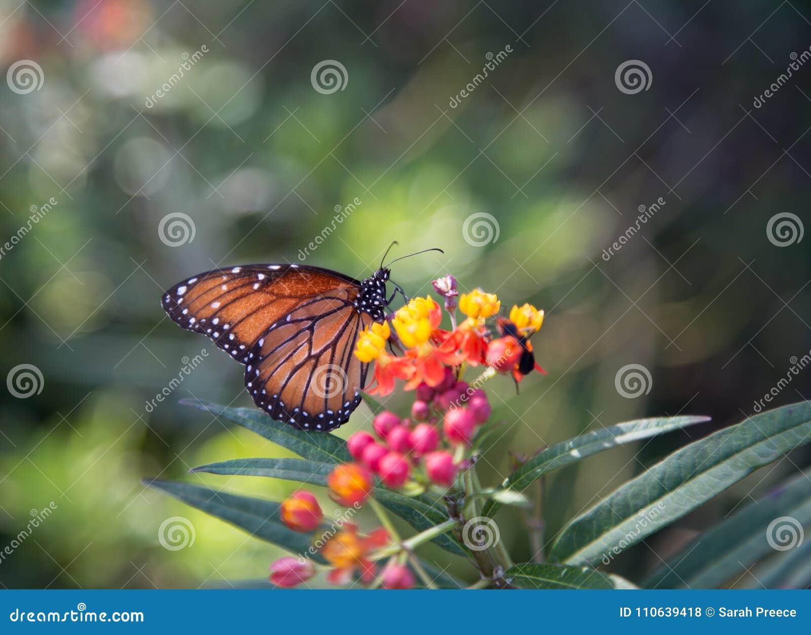 One Monarch butterfly on flowers