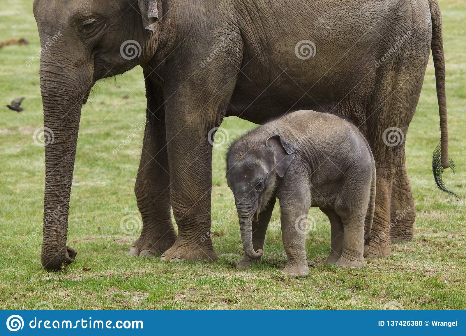 Baby Elephant With His Mother Stock Photo - Image of asia, animals ...