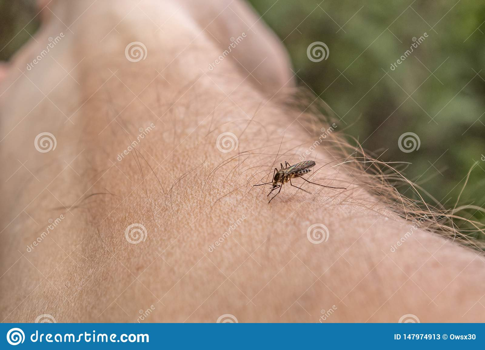 One mosquito sits on the hand, pierces the skin and sucks human blood. Causes the disease malaria. Mosquitoes are dangerous