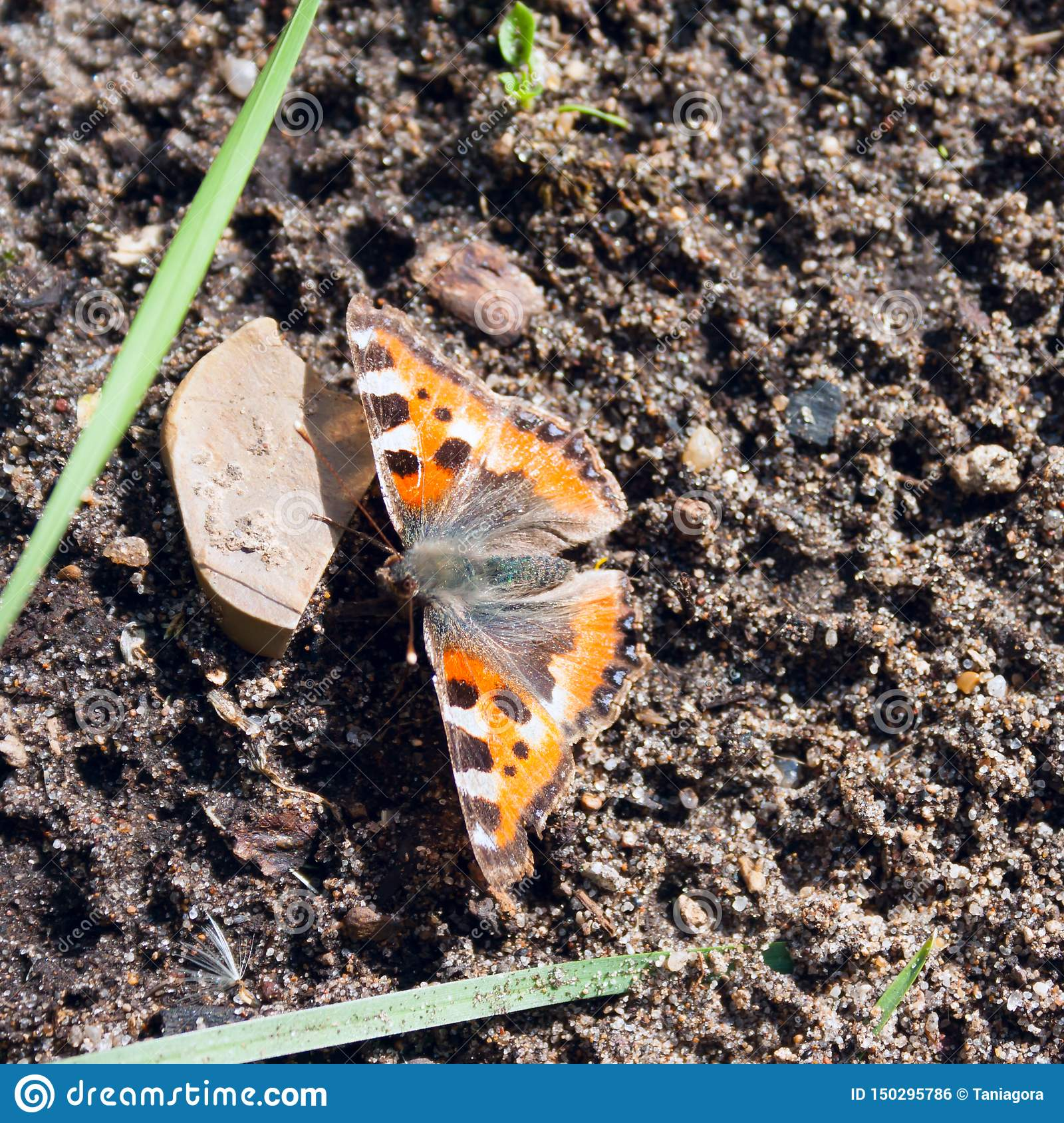 One orange butterfly Aglais urticae on the ground