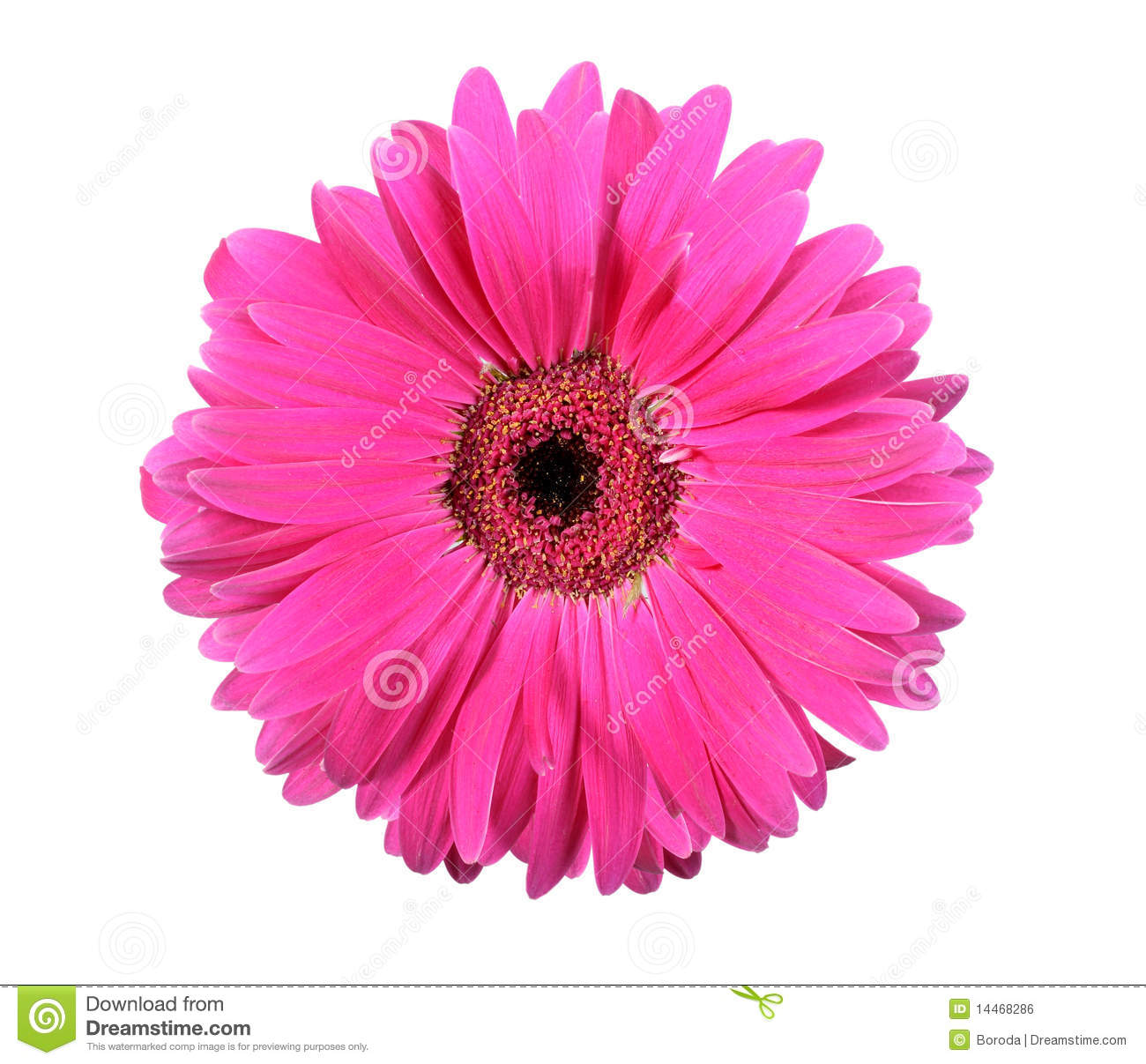One pink flower isolated on white background stock photo image of download one pink flower isolated on white background stock photo image of gerbera pink mightylinksfo
