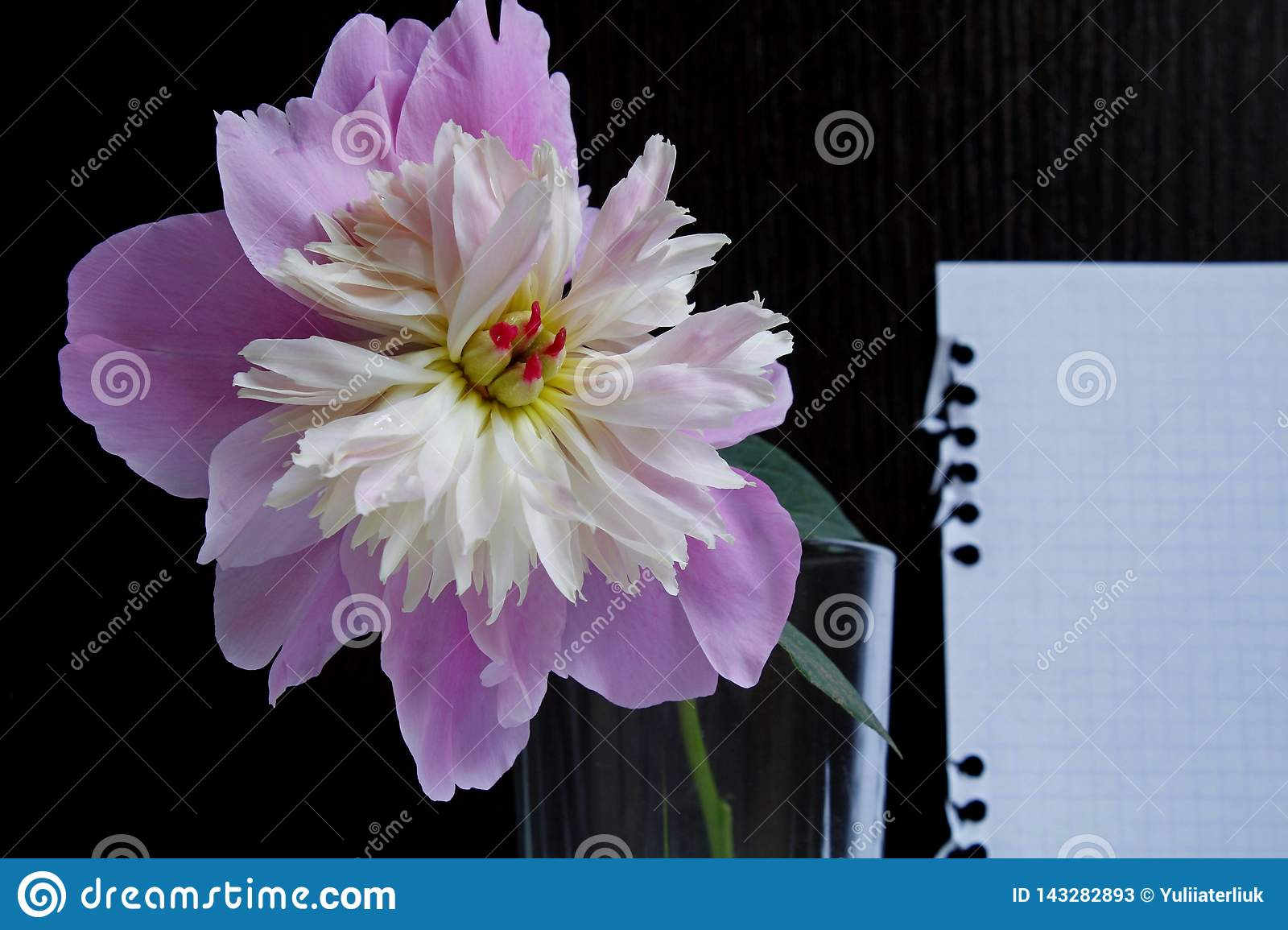 One pink peony in a glass on a black wooden background with a white sheet of paper