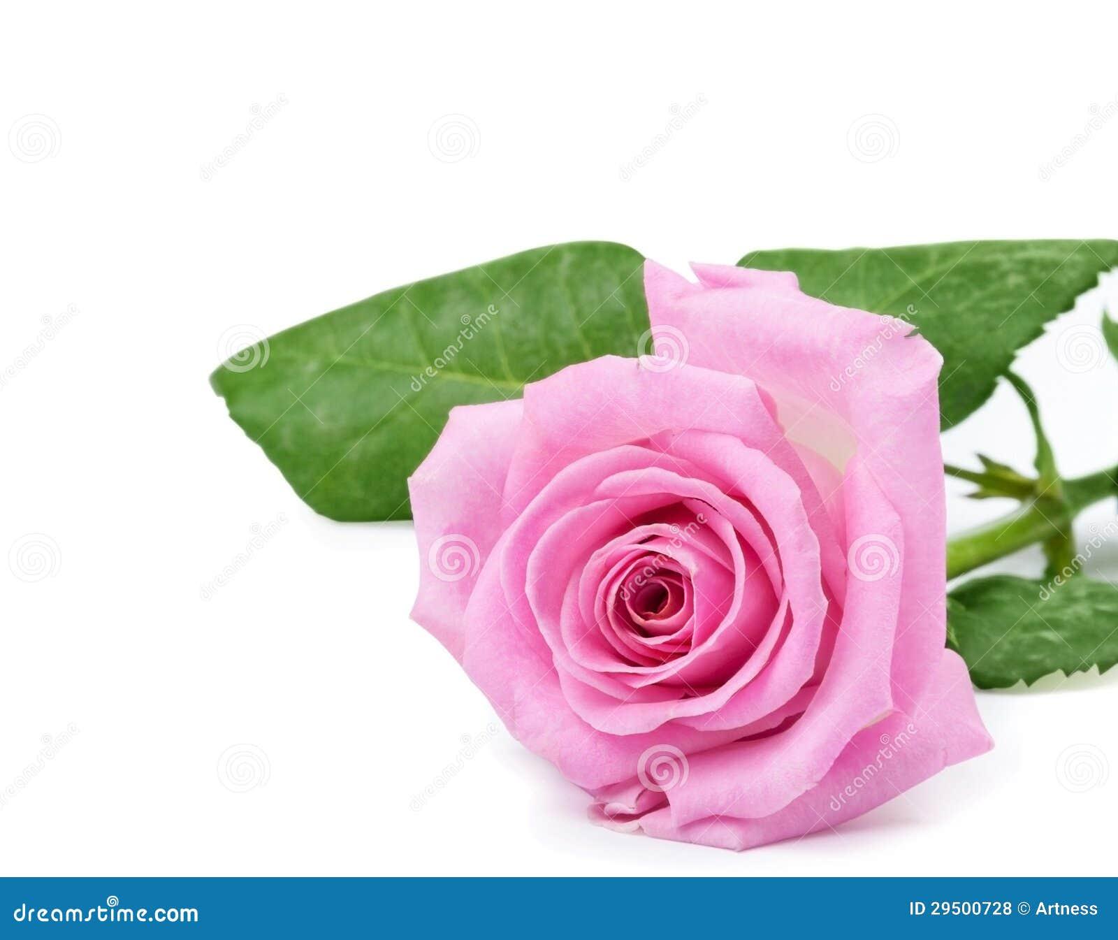 One Pink Rose Royalty Free Stock - 91.9KB