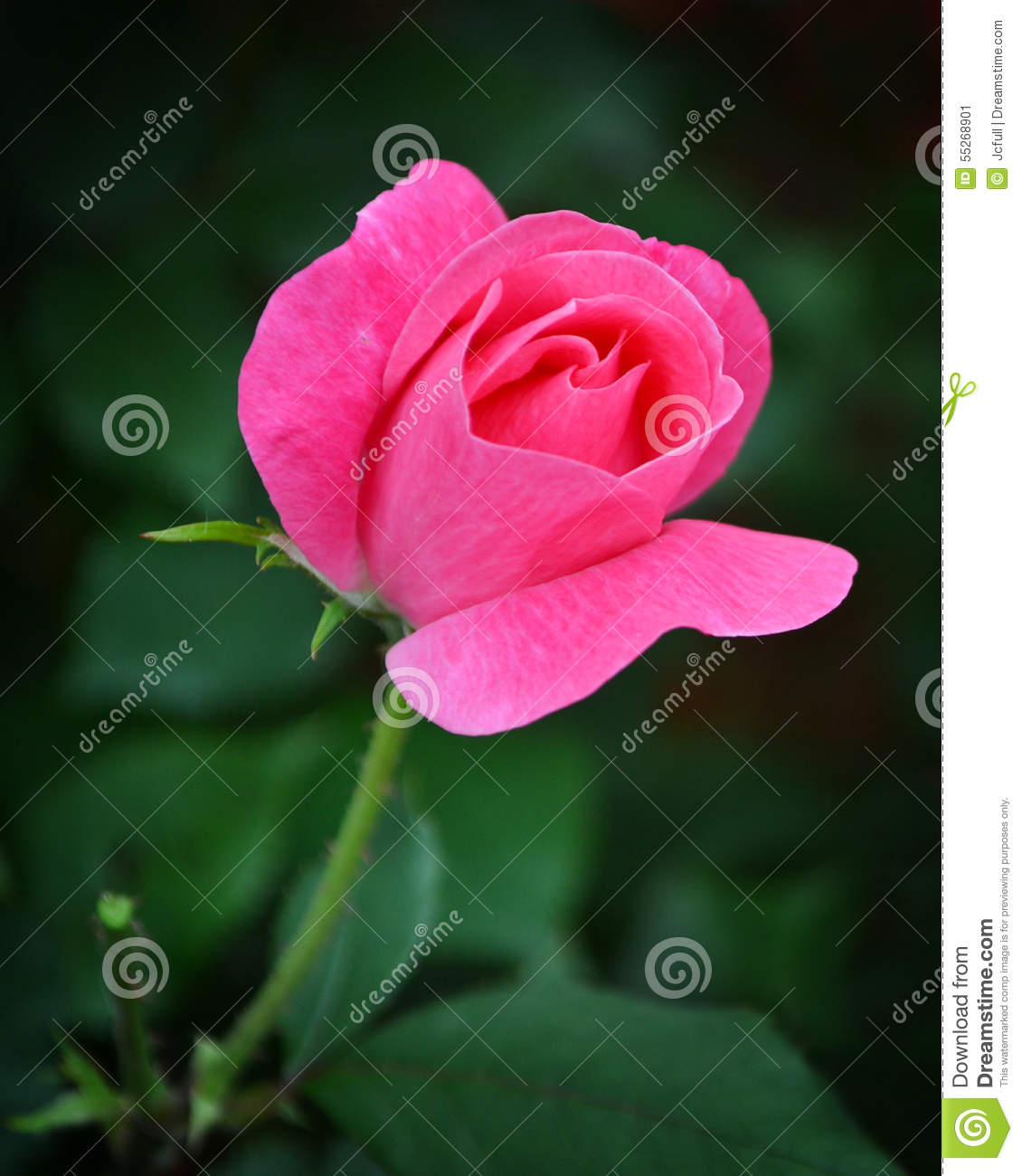 One pink rose against green leaves