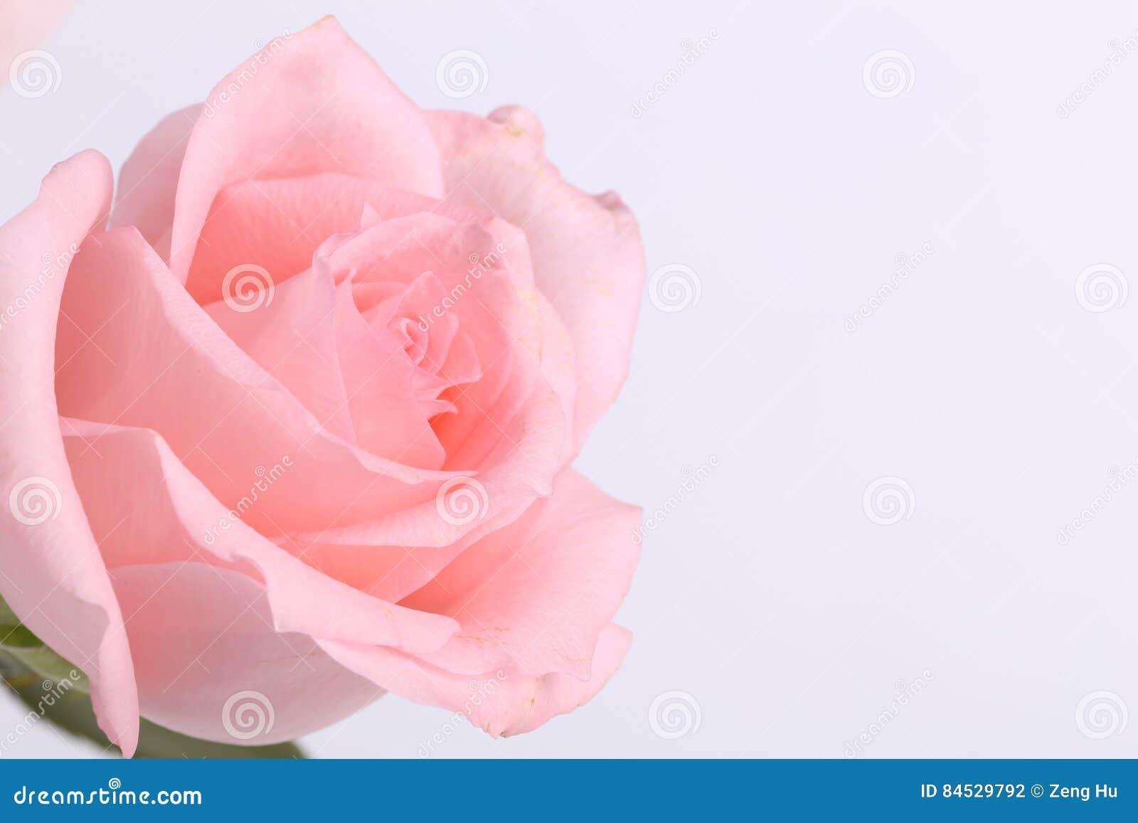 One pink rose closeup stock photo image of green life 84529792 single pink rose flower closeup mightylinksfo