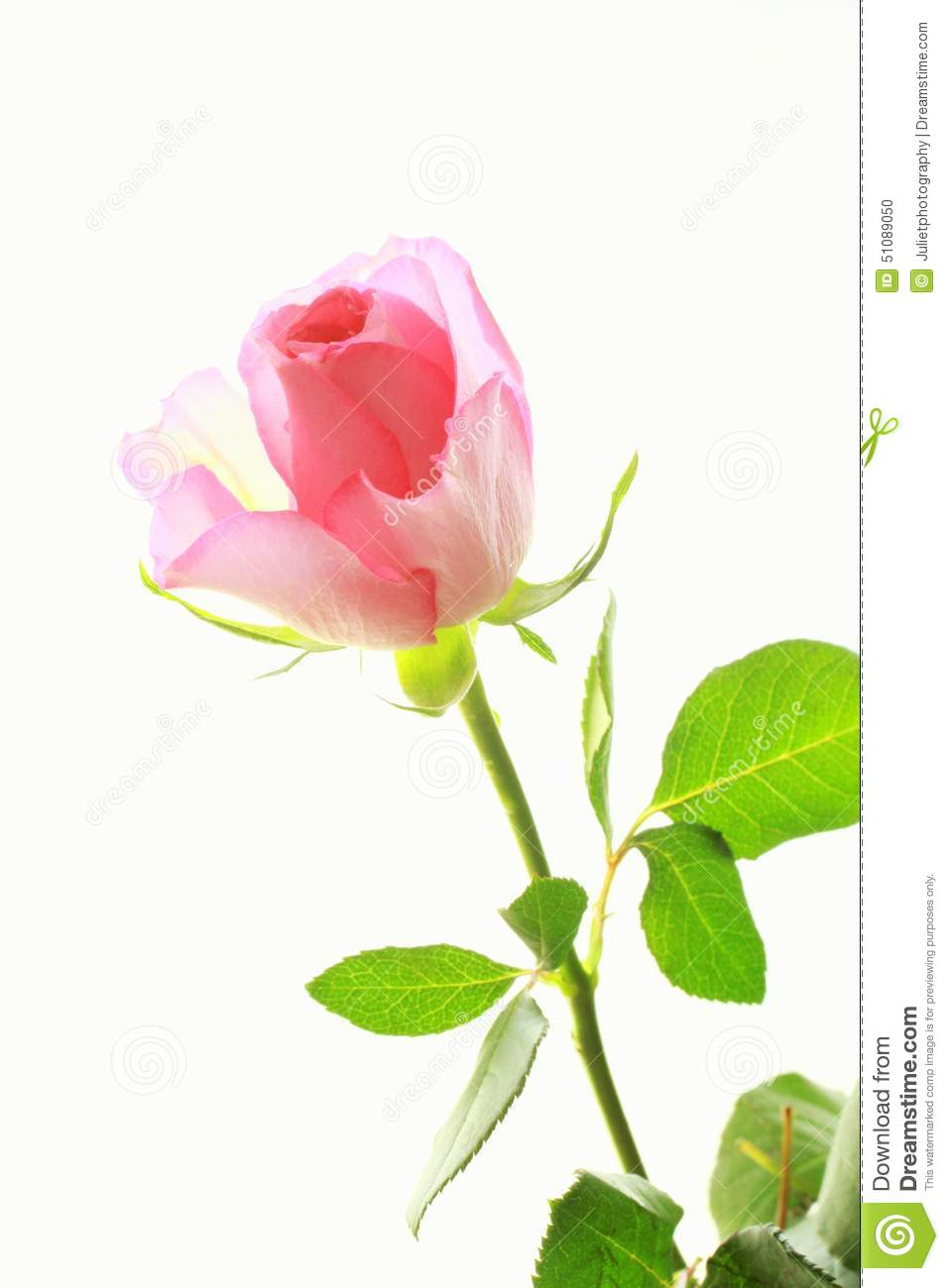 One Pink Rose On White Stock Photo - 64.3KB