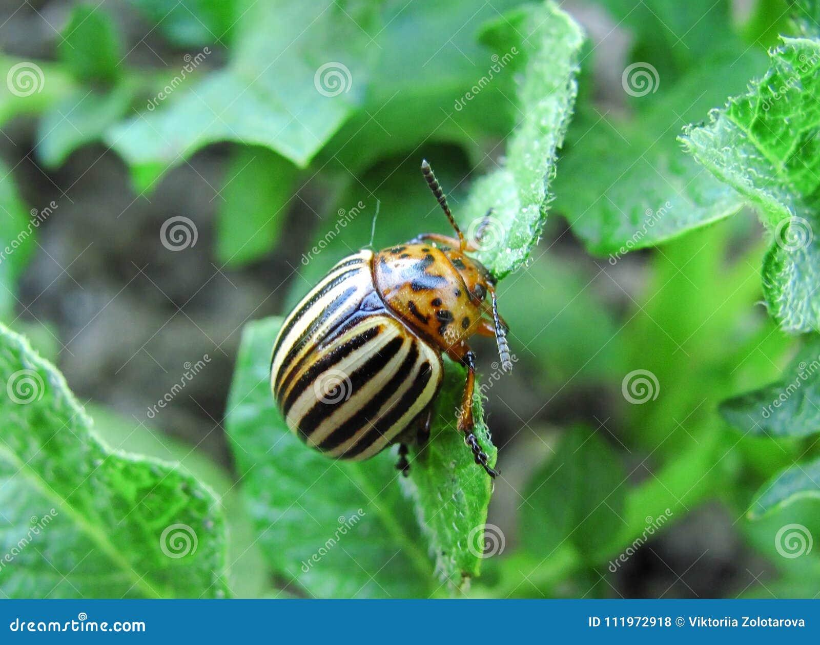 One potato bug close up