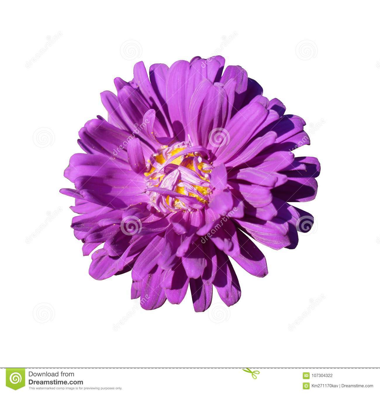 One purple with yellow center aster callistephus flower isolated one purple with yellow center aster callistephus flower isolated on white mightylinksfo