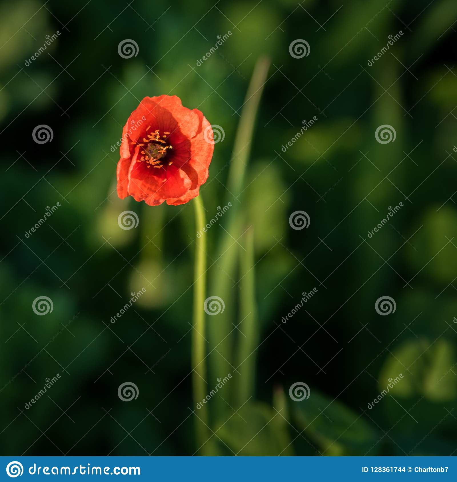 One red poppy flower with a green background out of focus. copy space