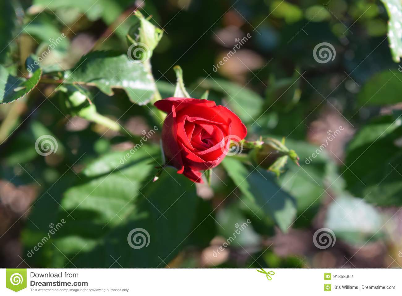 One red rose bud bloom