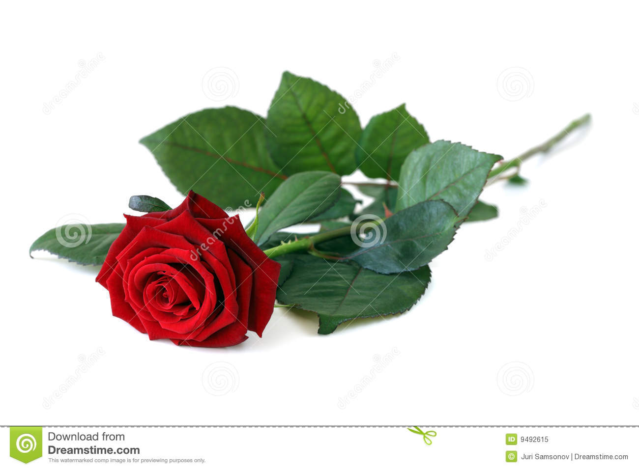 Beautiful Single Red Rose Flower Isolated Royalty Free: One Rose. Stock Image. Image Of Holiday, White, Perfection