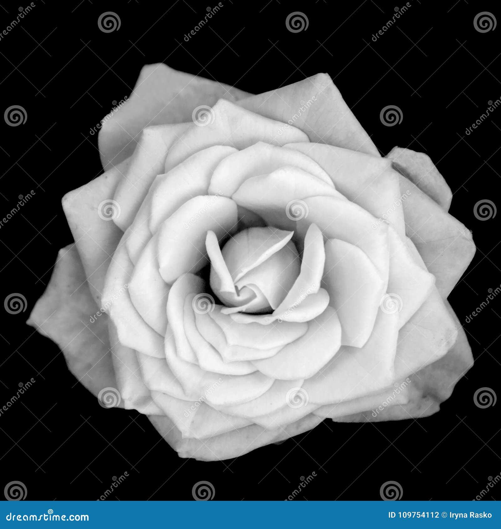 One rose flower isolated on black background