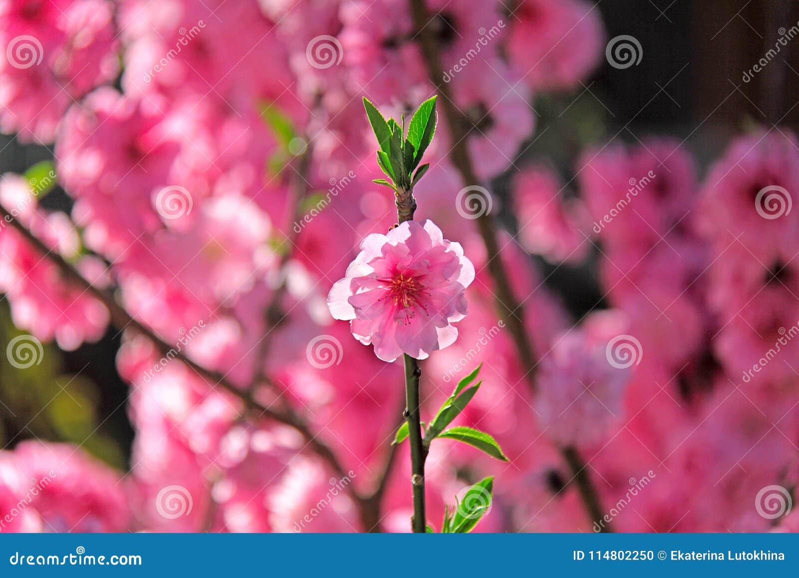 One Sakura Flower And Pink Background Stock Photo Image Of