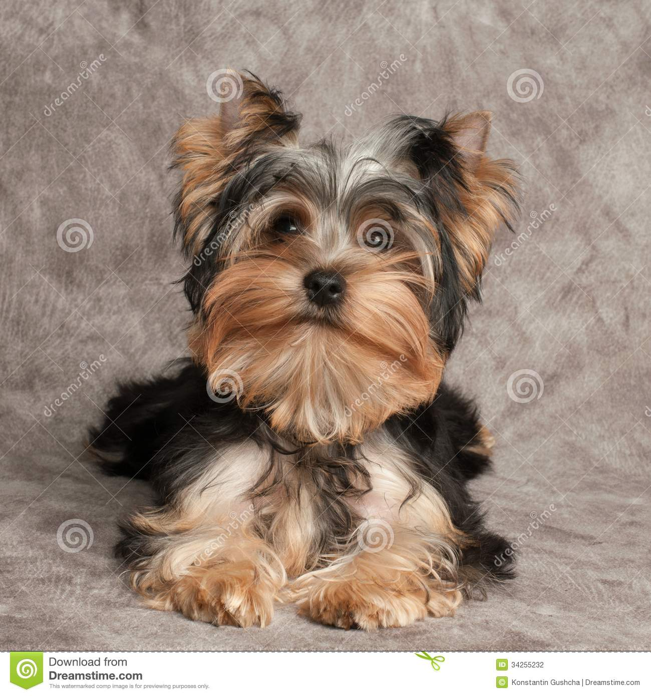 One shaggy puppy of the Yorkshire Terrier on textile background. Yorkshire Terrier 911