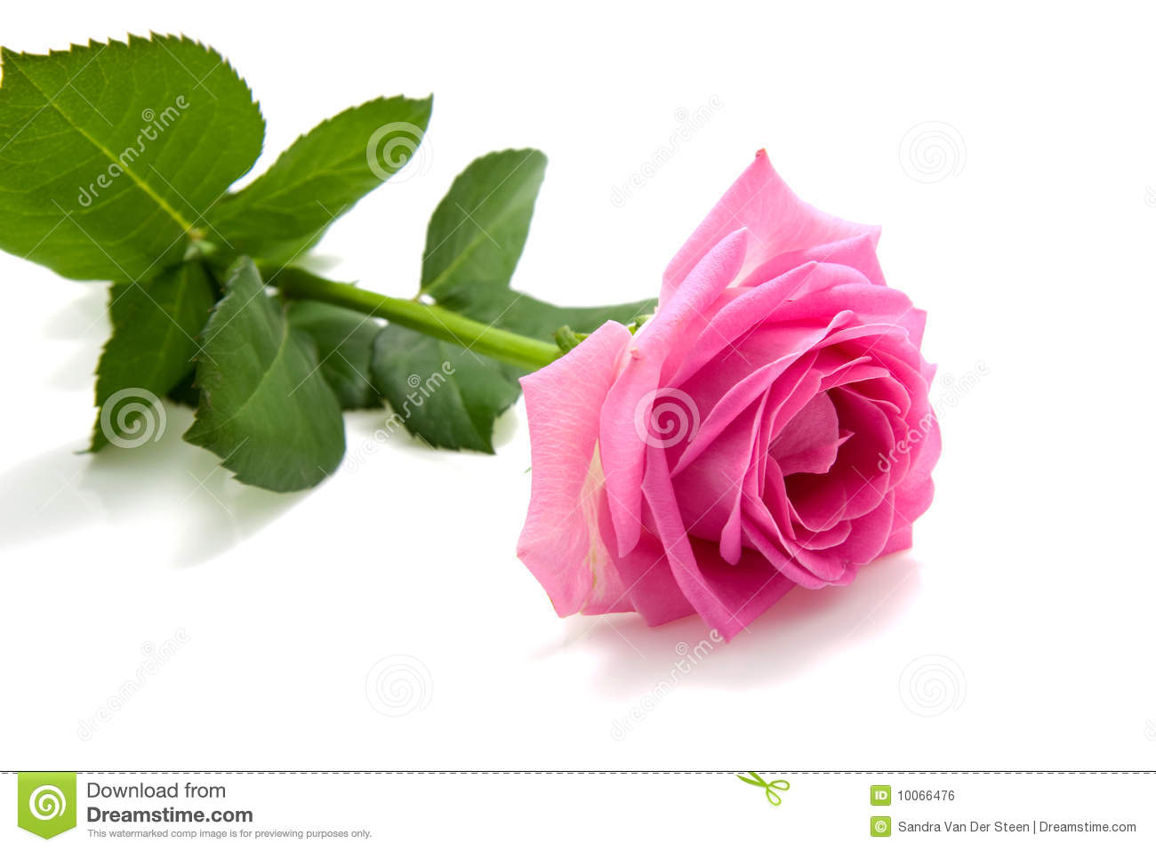One Single Pink Rose On White Stock - 88.4KB