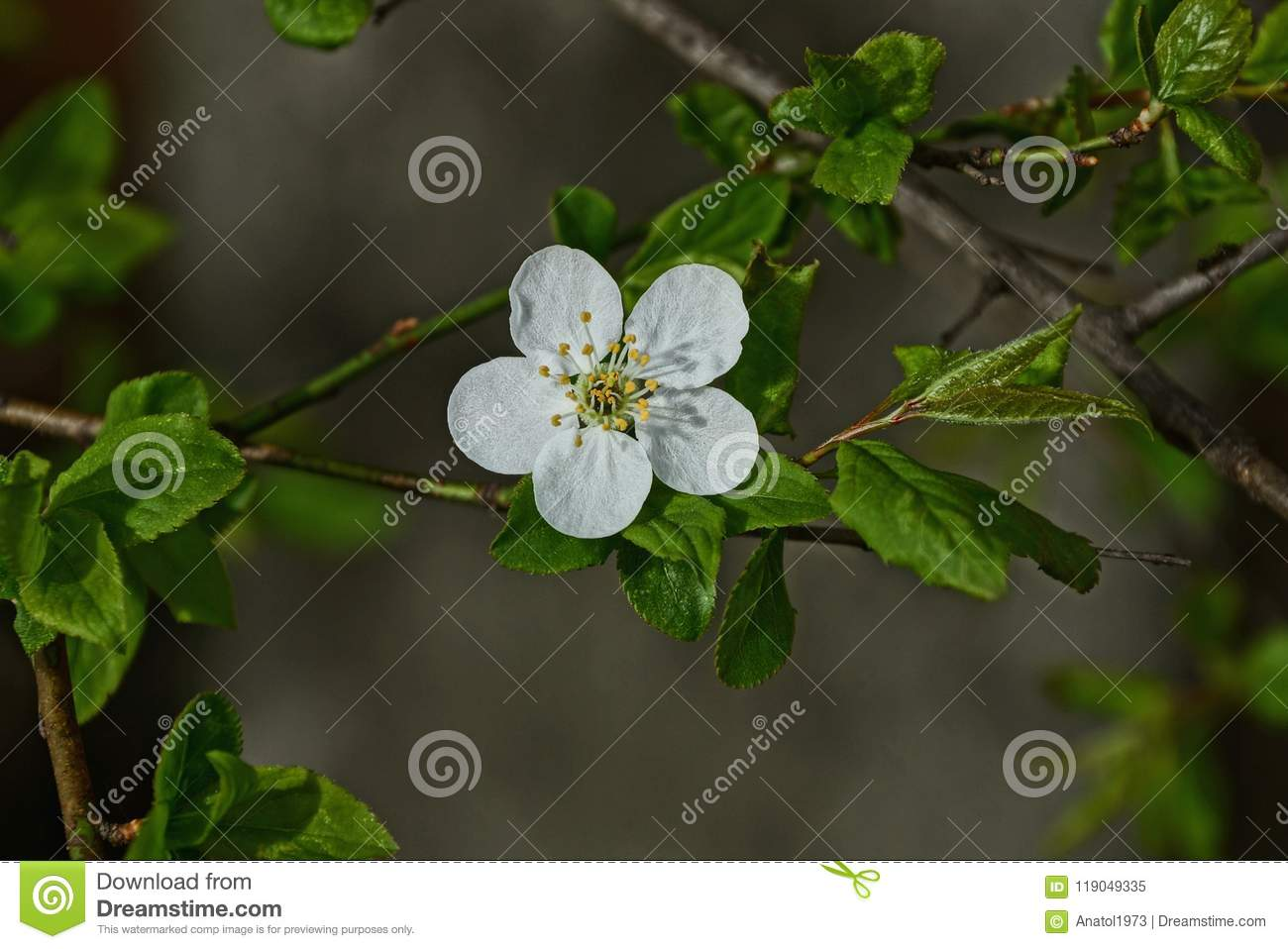 Small white cherry blossom on a branch with green leaves