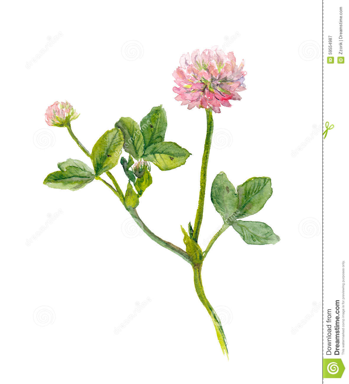 One Watercolor Painted Pink Clover Flower Stock Illustration
