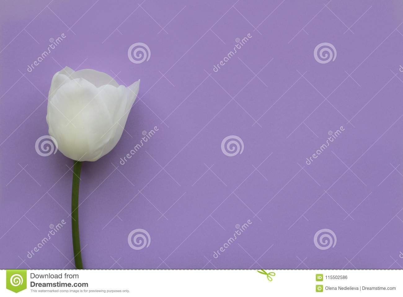 One white color tulip on violet background