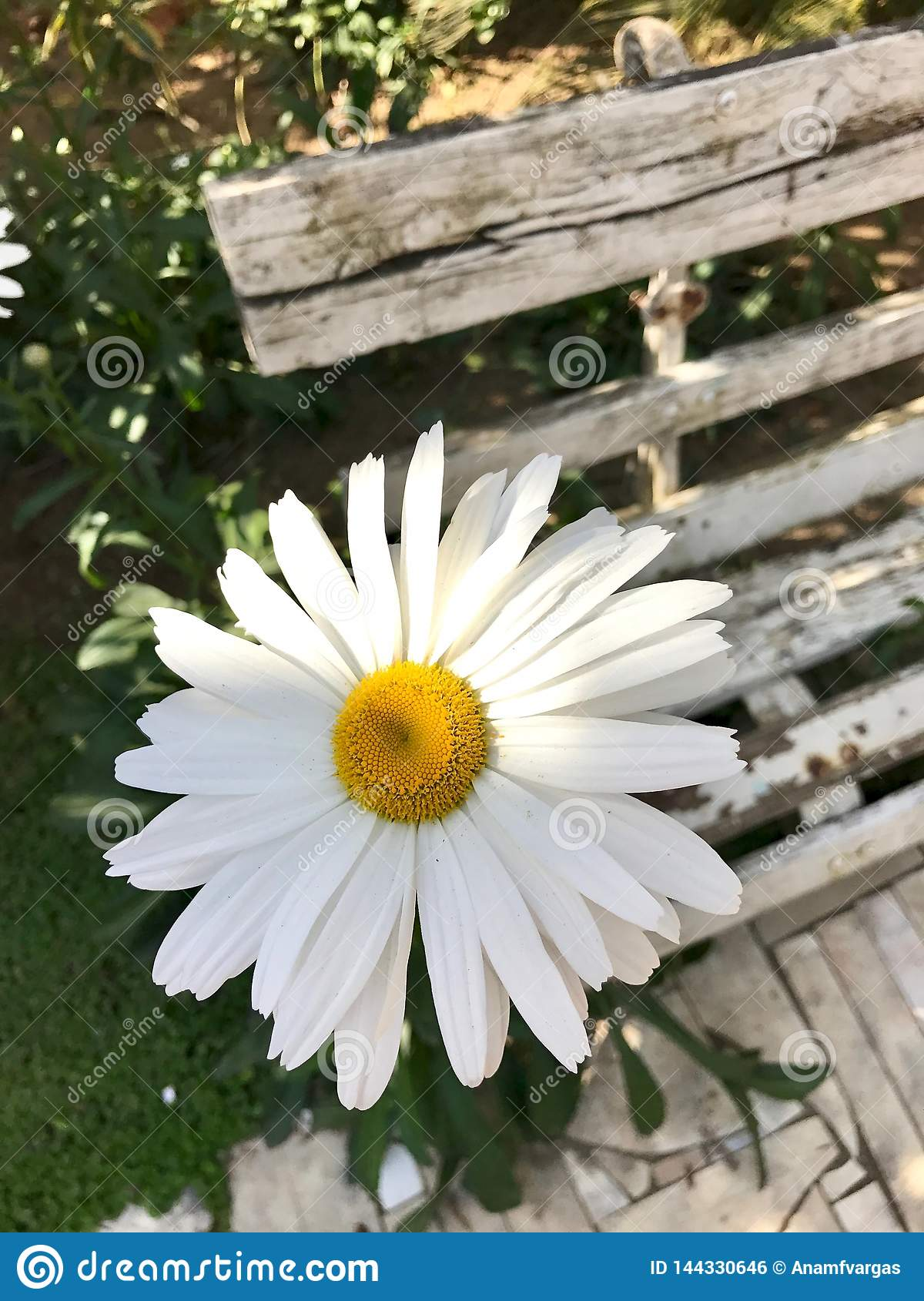 One White Daisy by an old bench