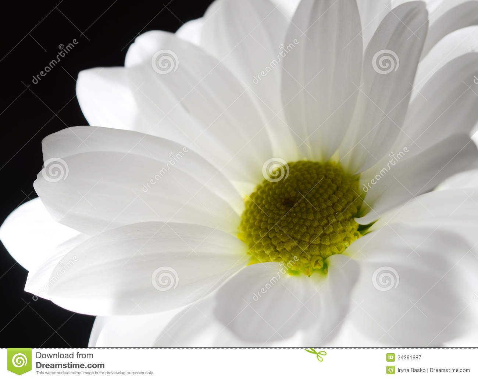 One White Flower On Black Background Stock Image Image Of Nature