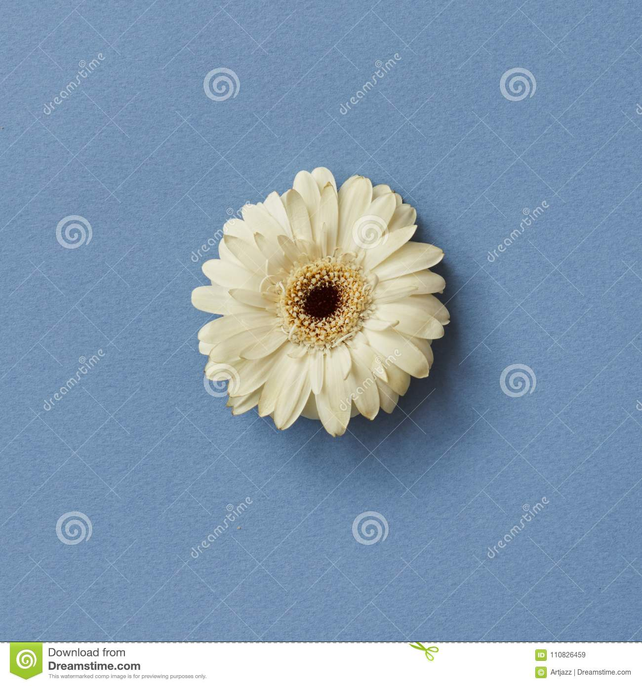 One White Gerbera Flower Isolated On A Blue Background Stock Image